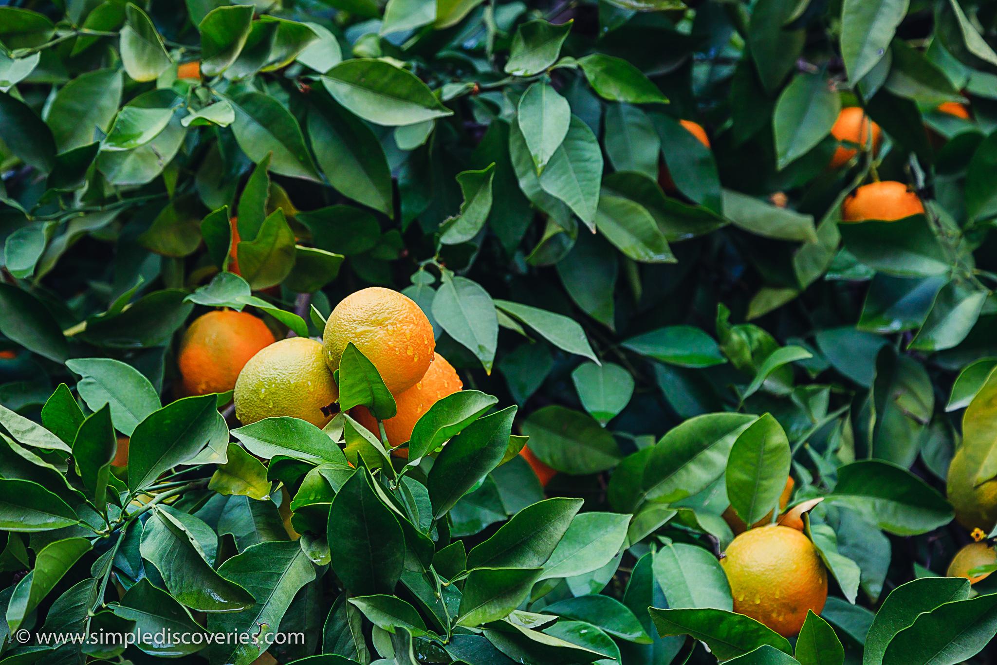 morocco_oranges