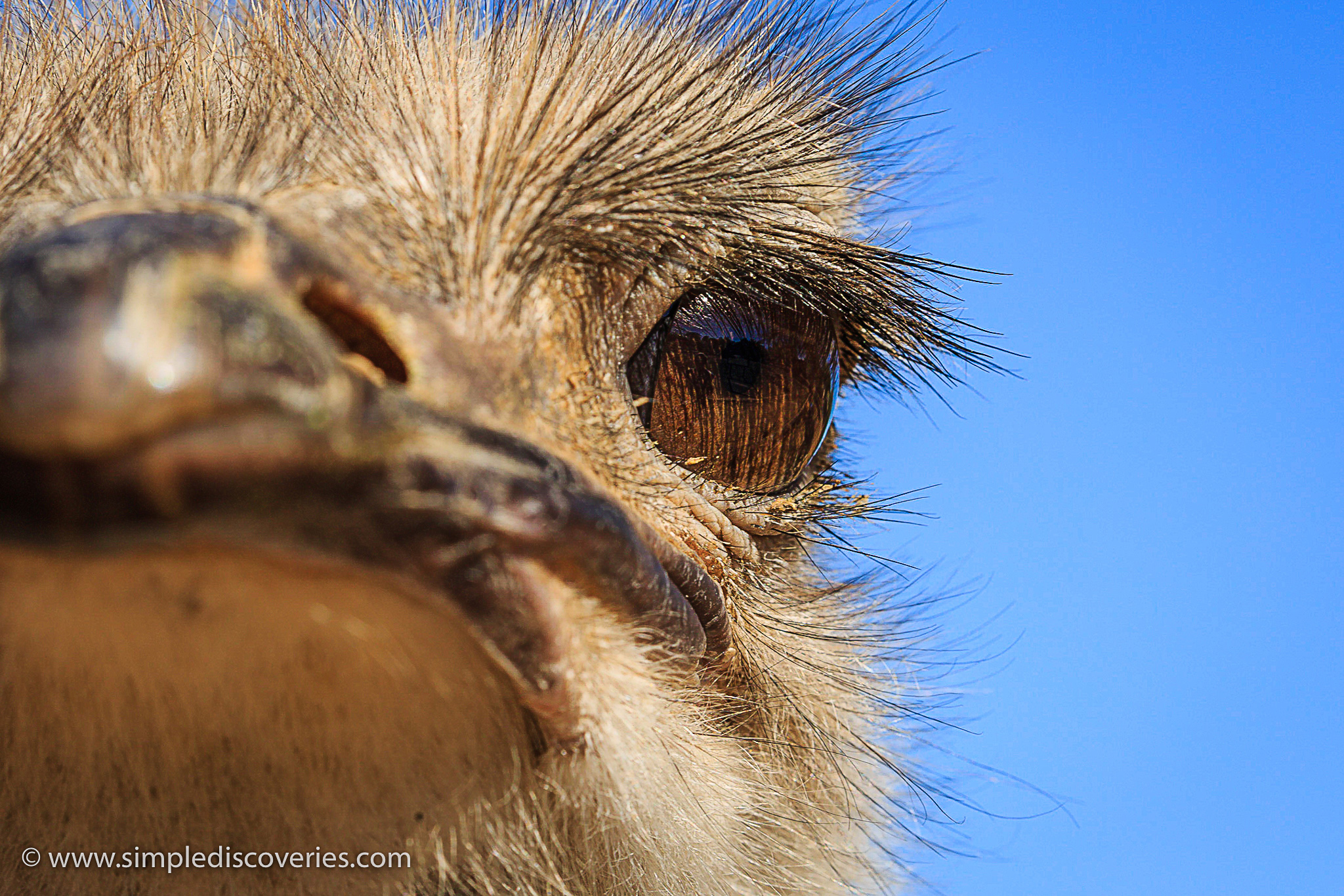 ostrich_closeup_south_africa