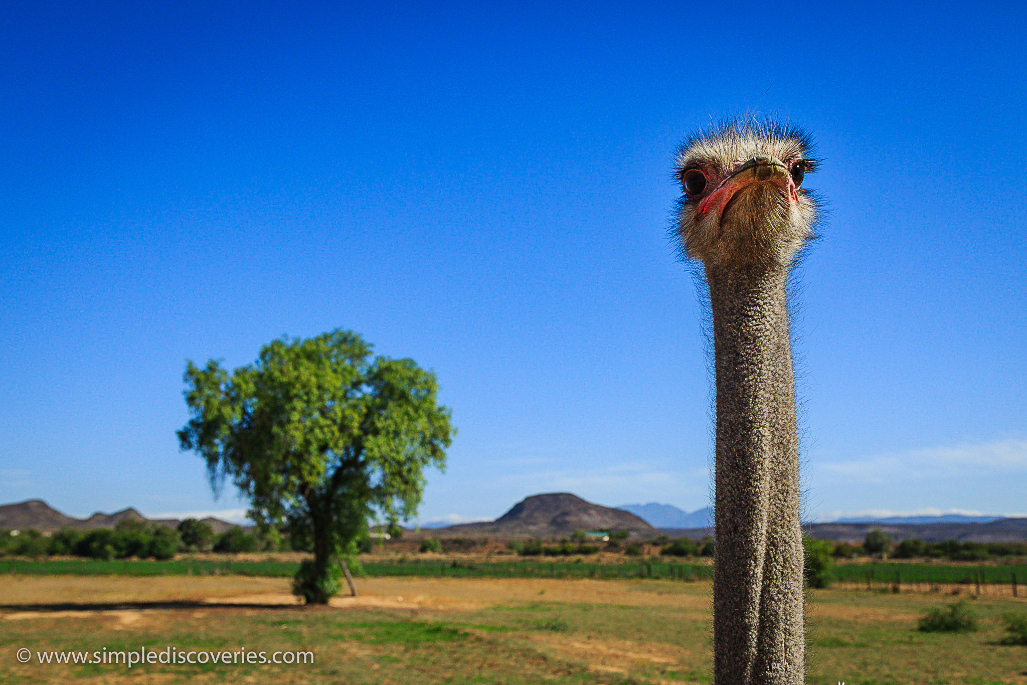 ostrich_oudtshoorn_south_africa