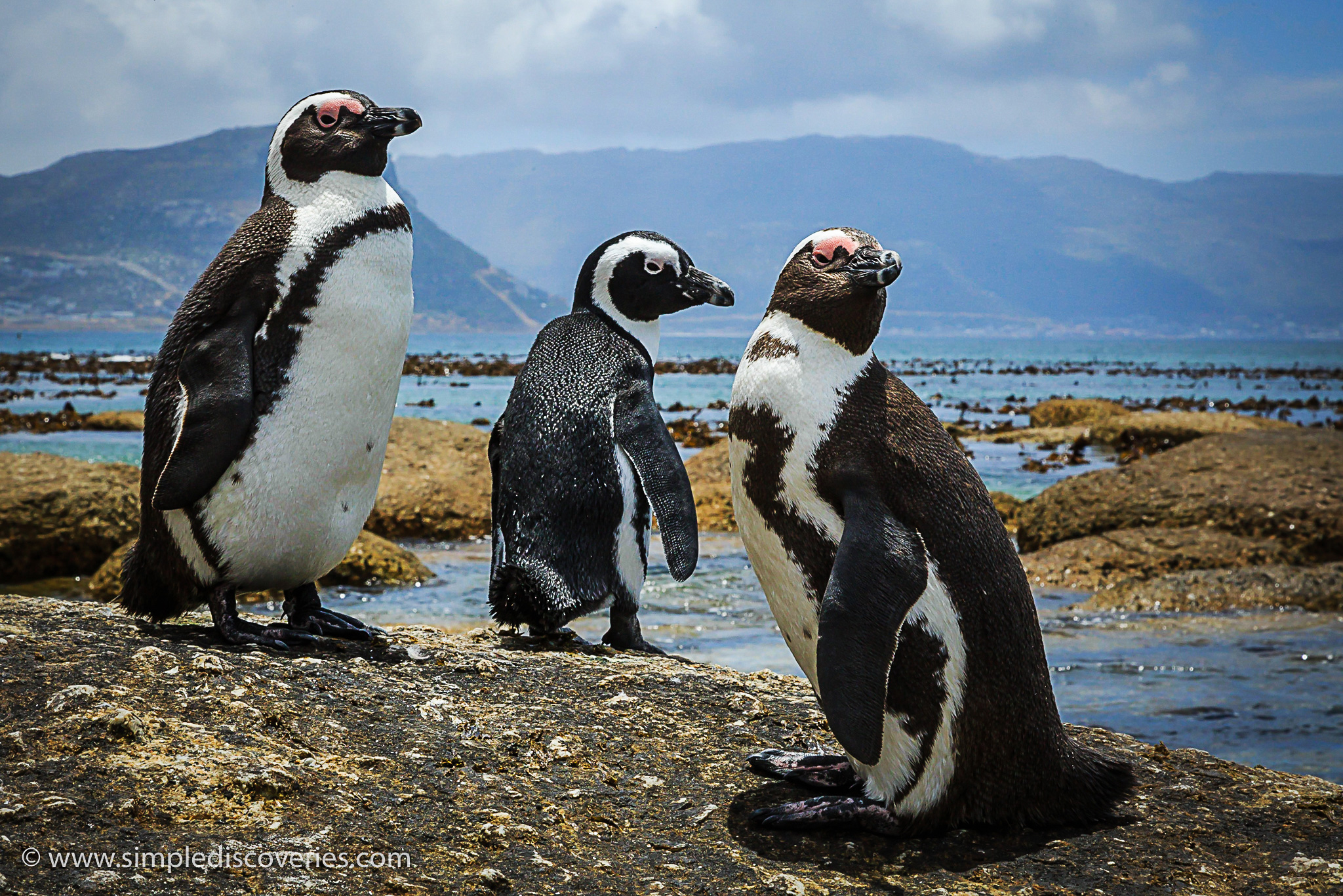south_africa_jackass_penguins