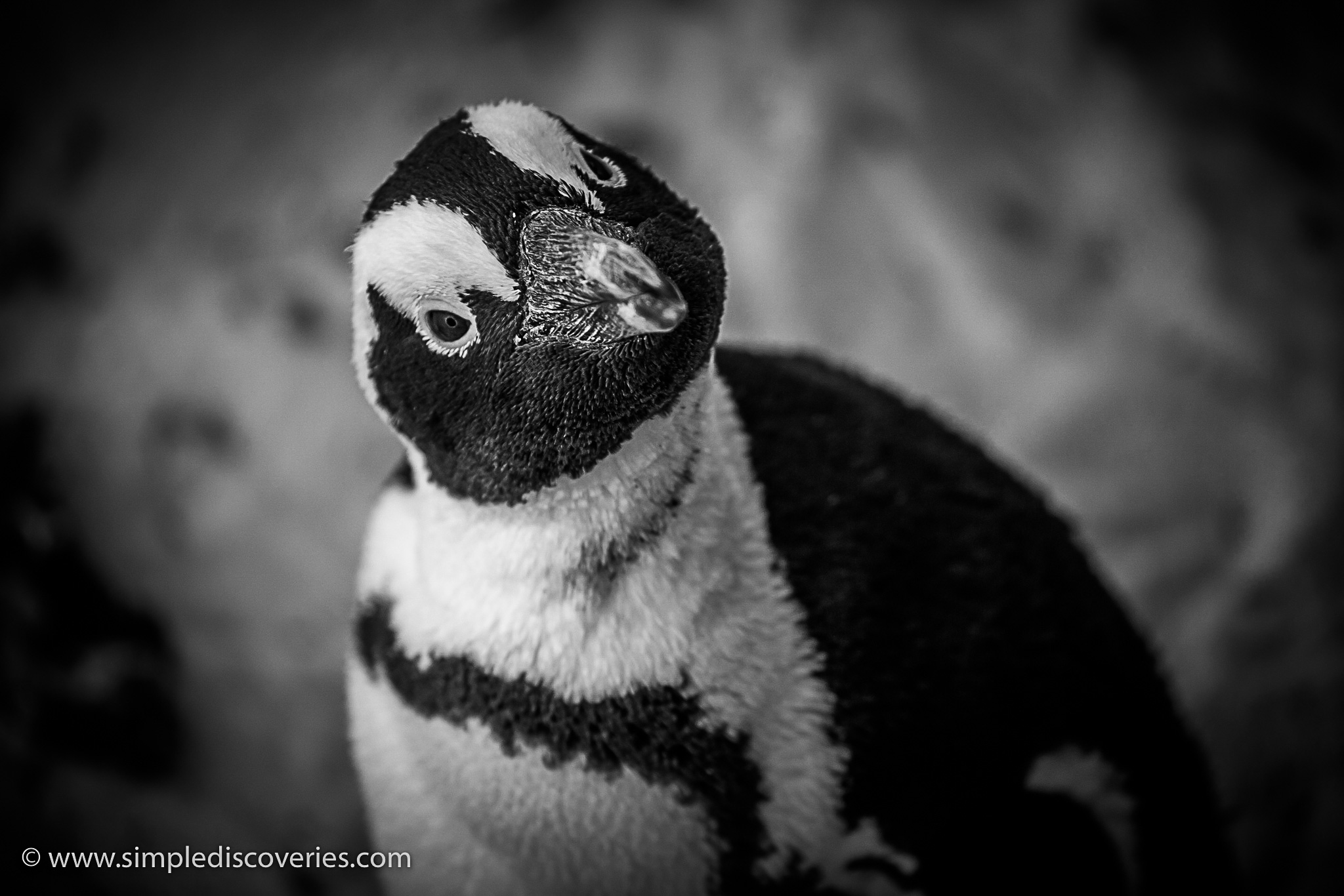 curious_penguin_south_africa
