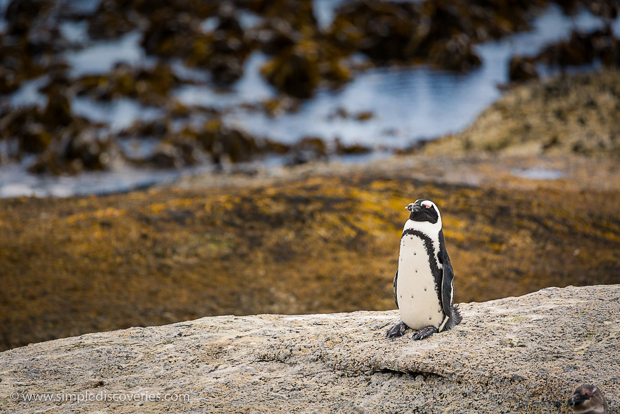 african_penguin_boulders_beach