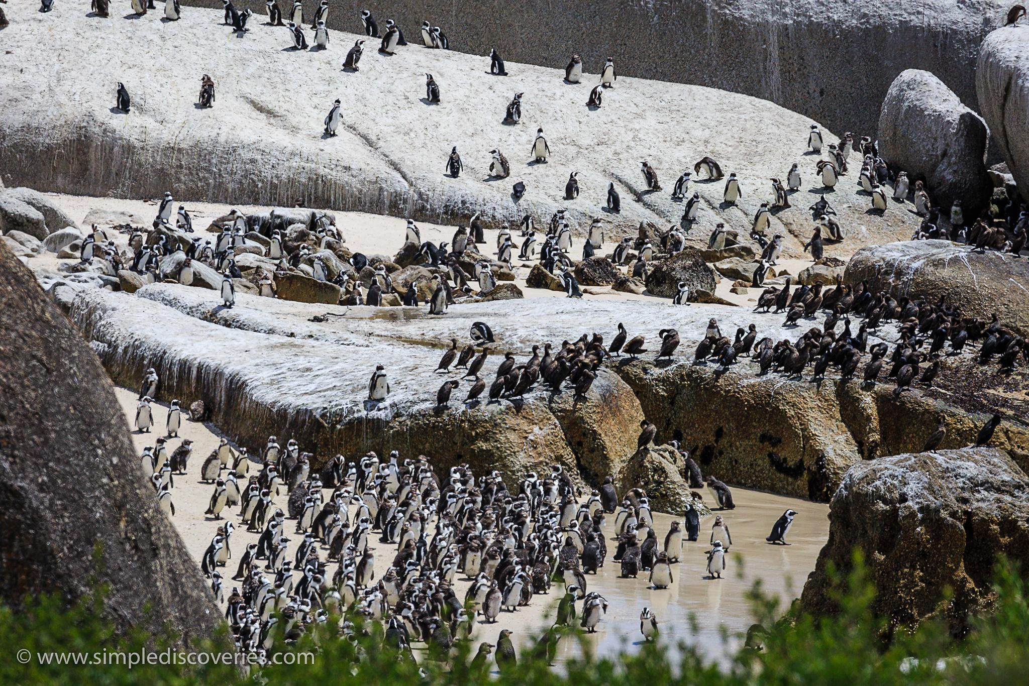 boulders_beach_penguin_colony