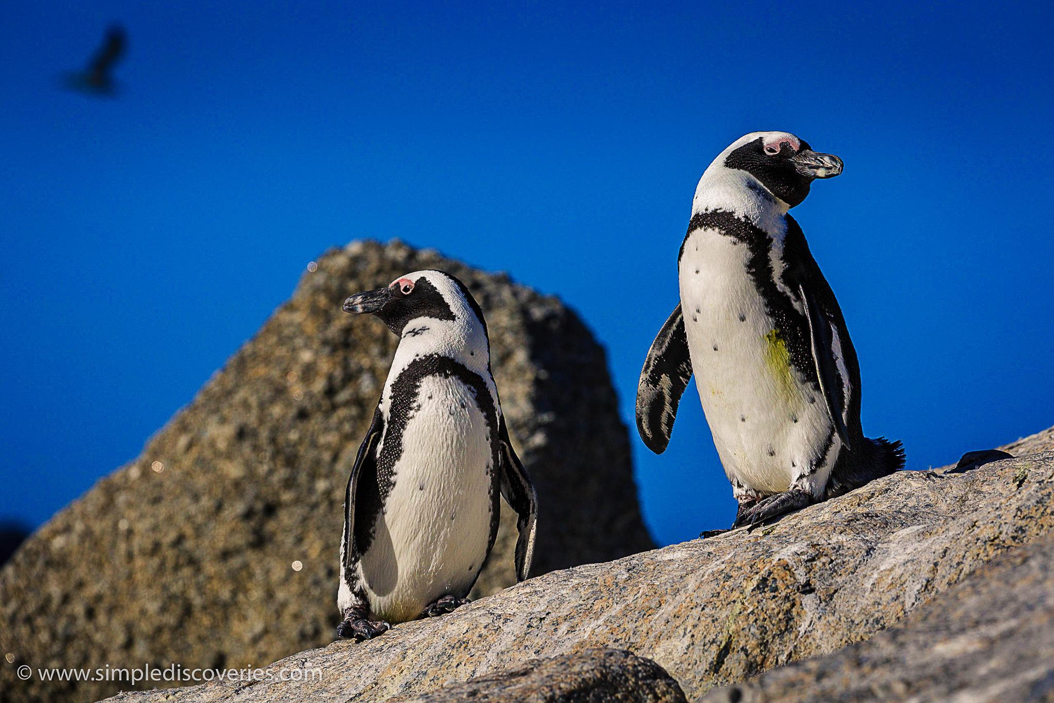 jackass_penguins_south_africa