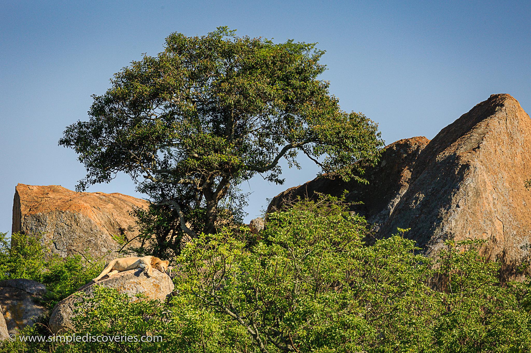 kruger_safari_lion