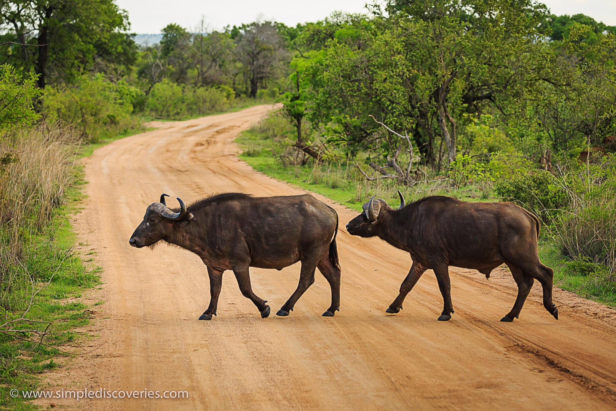 cape_buffalo_kruger_park