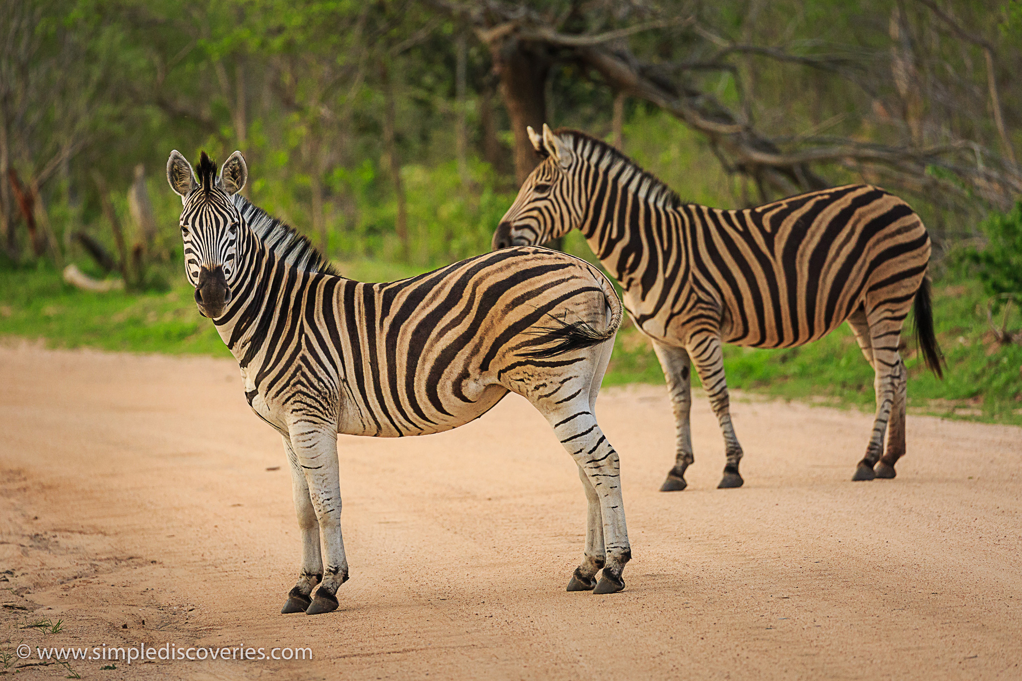 zebras_south_africa