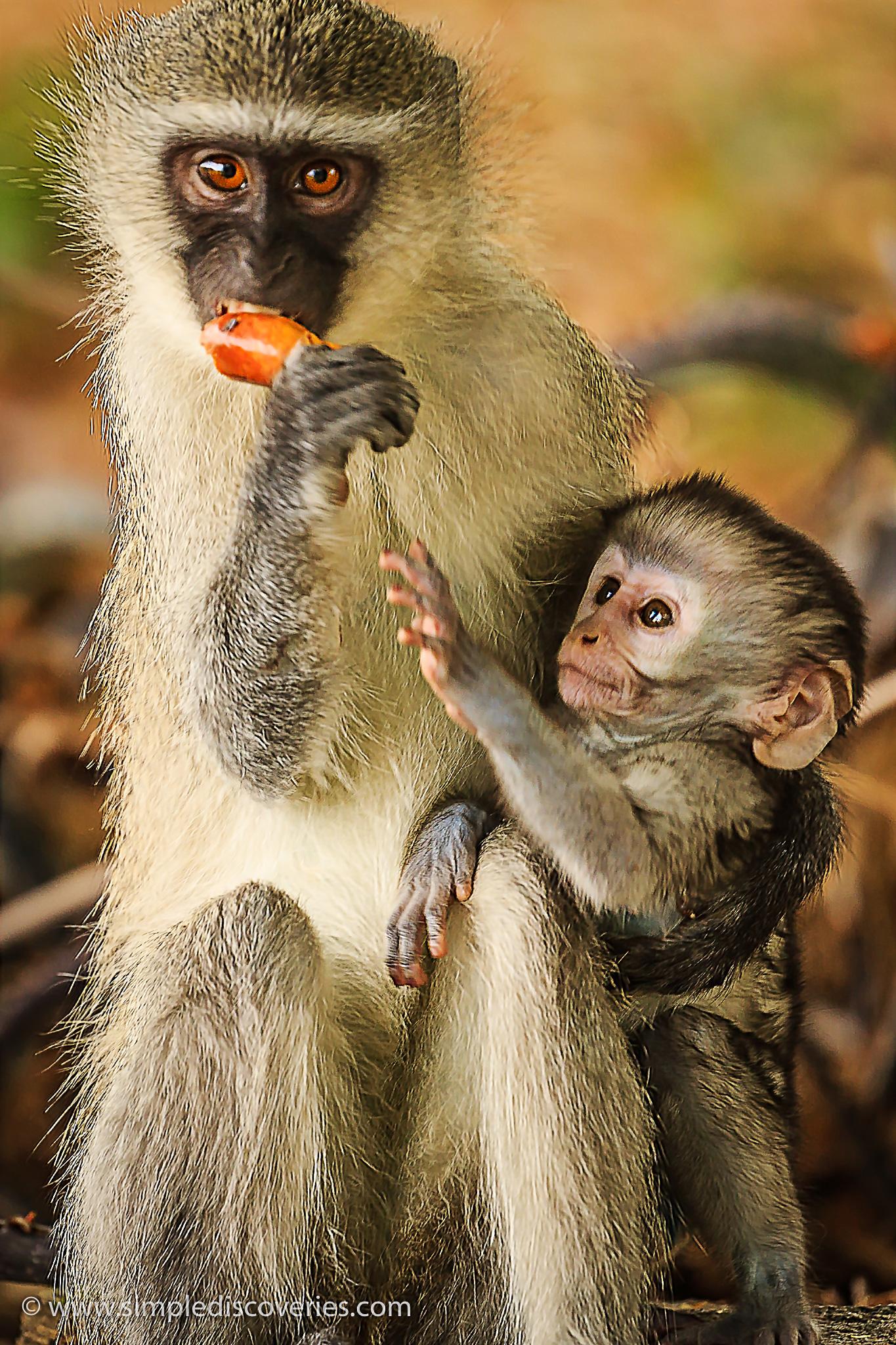 monkey_family_tshipise