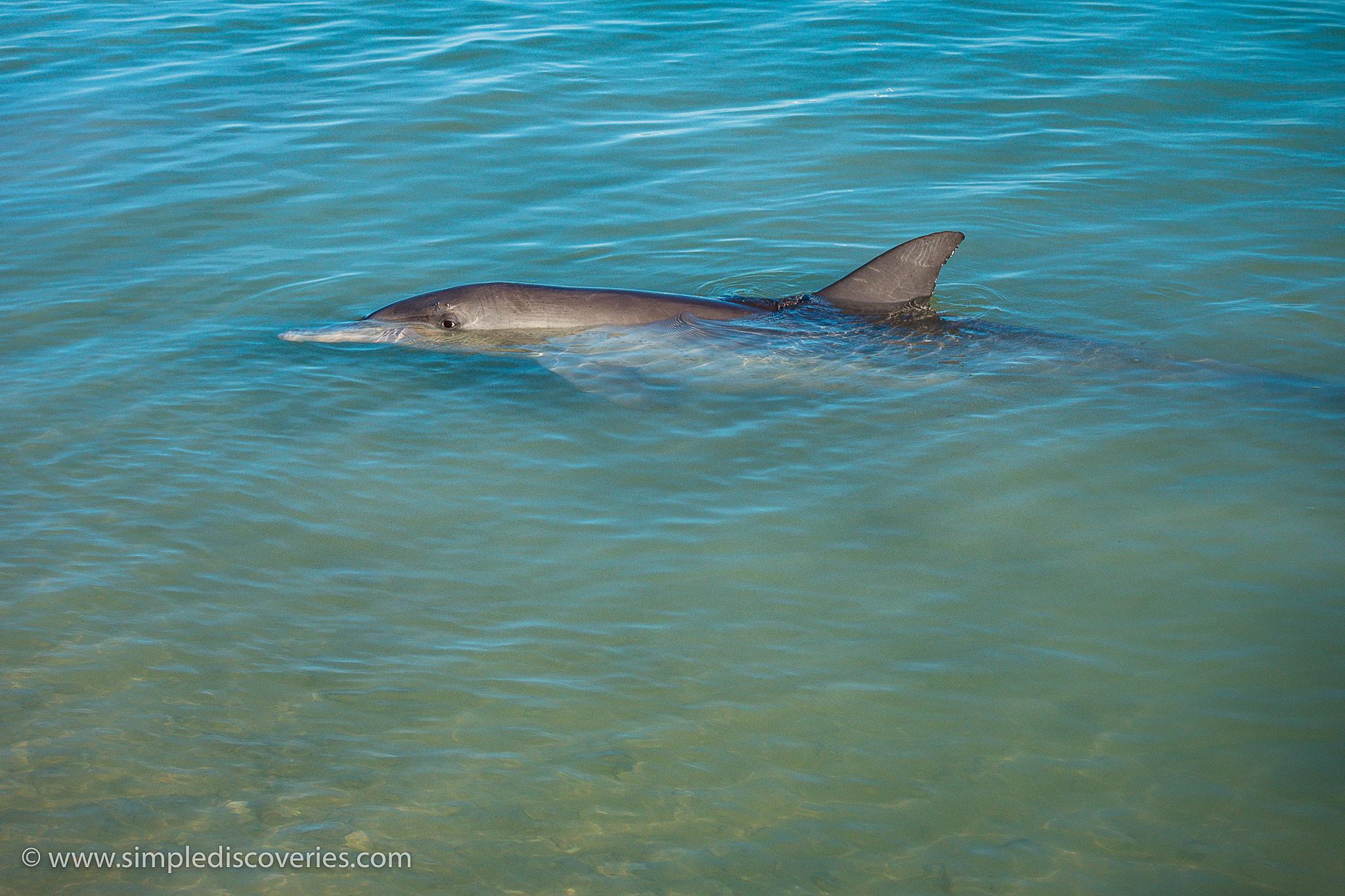 australia_monkey_mia_dolphin