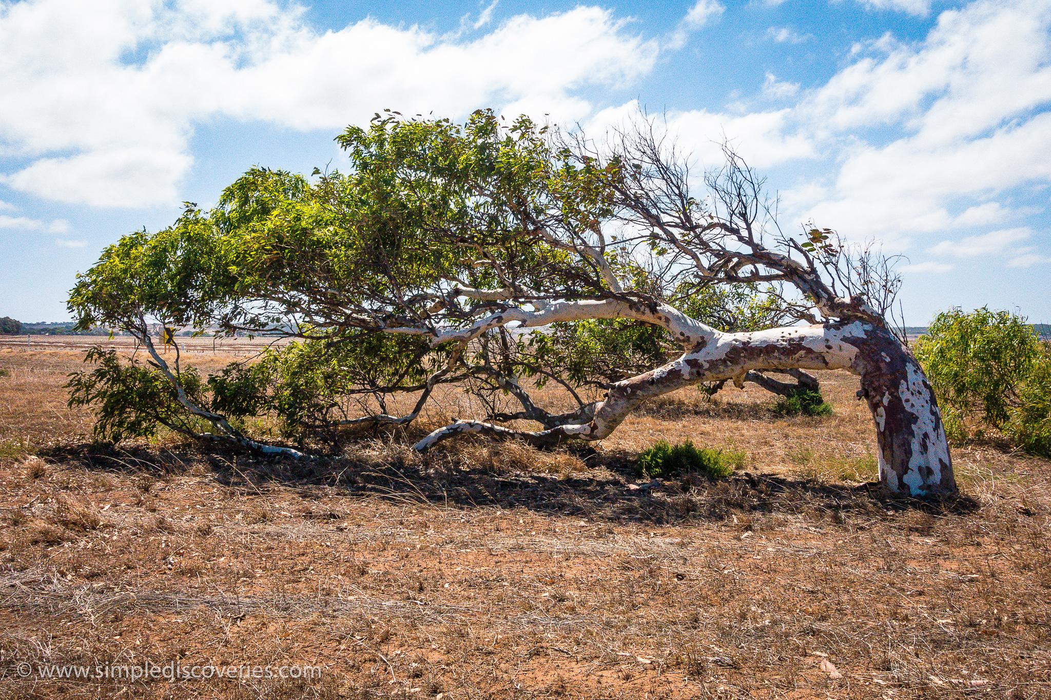 leaning_tree_greenough_australia