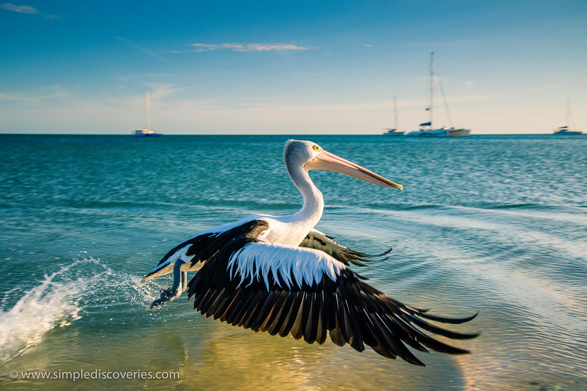 pelican_flight_shark_bay_australia