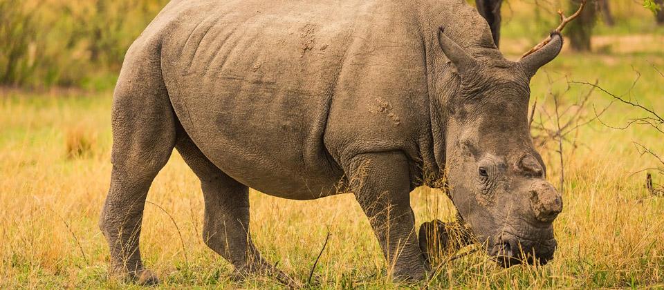 metopes_rhino_grazing