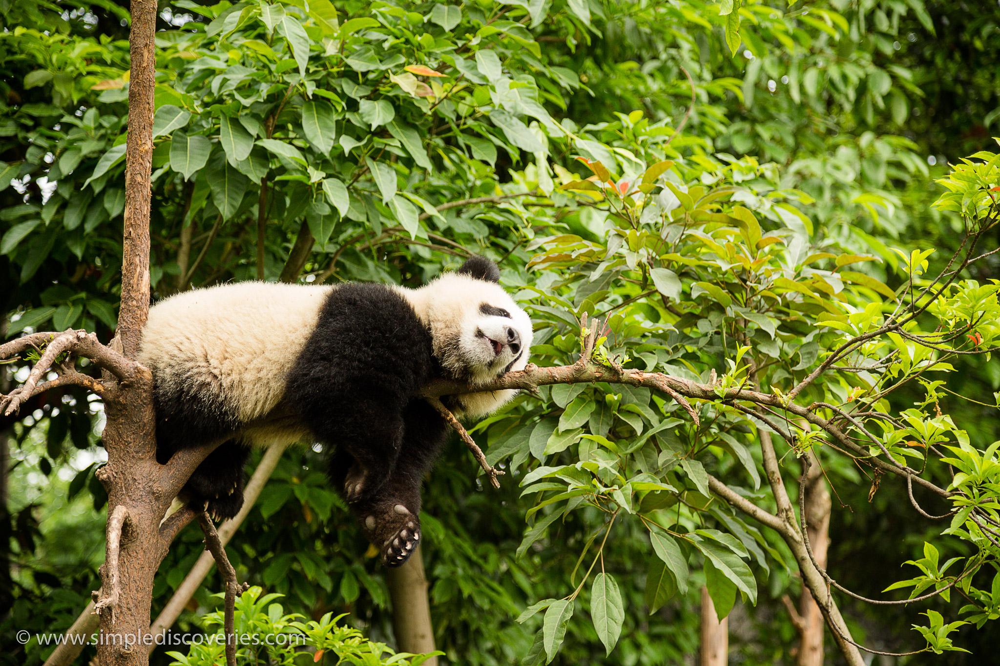 panda_cub_chengdu_china