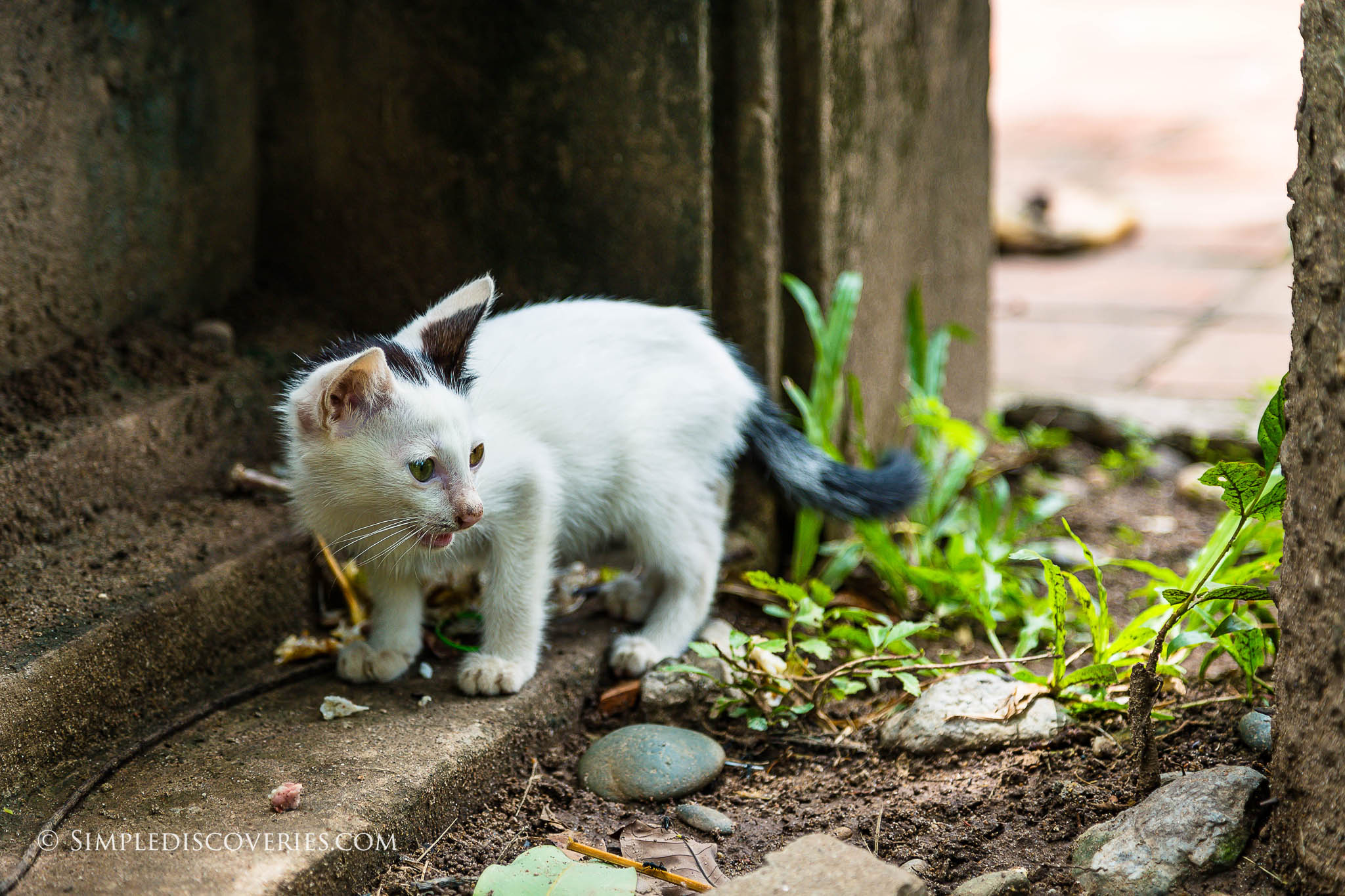 stray_kitten_laos