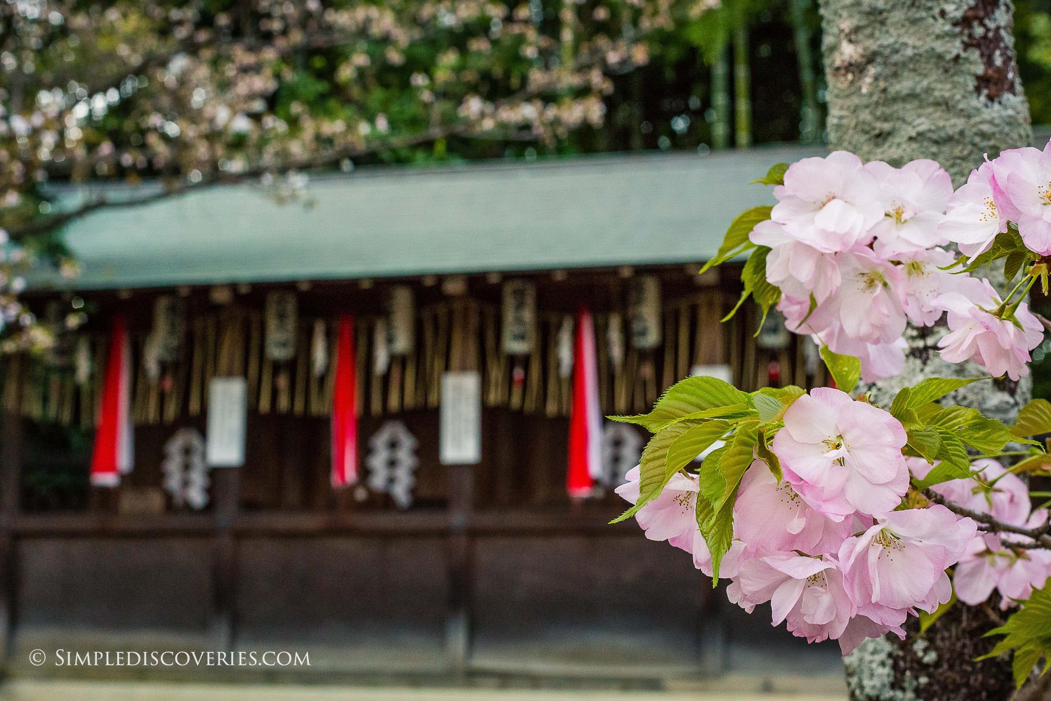 Shrine_Cherry_Blossoms_Japan