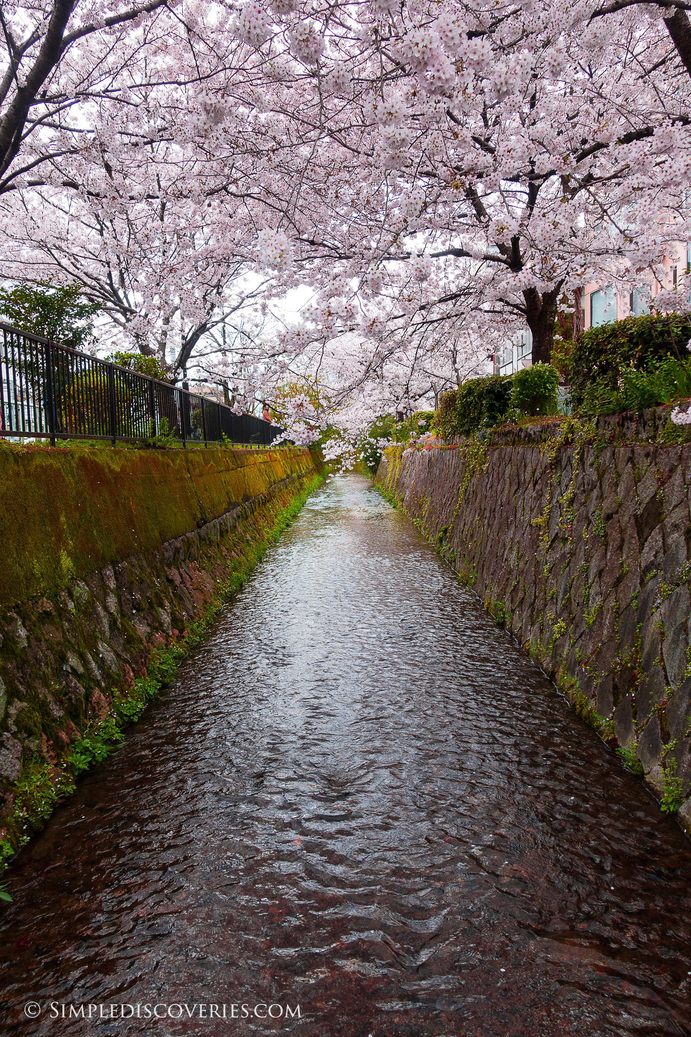 Japan_Shirakawa_Dori_Blossoms