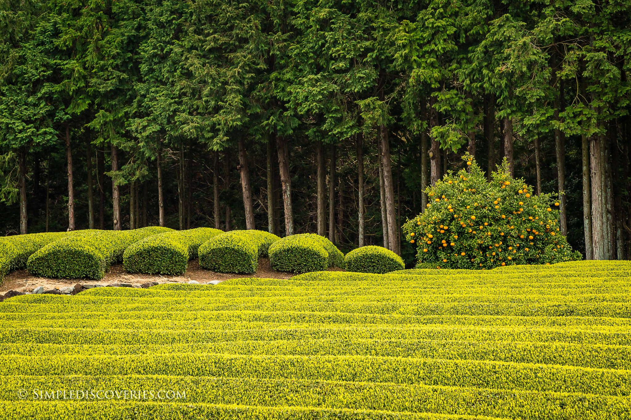 Japan_Fuji_Crops
