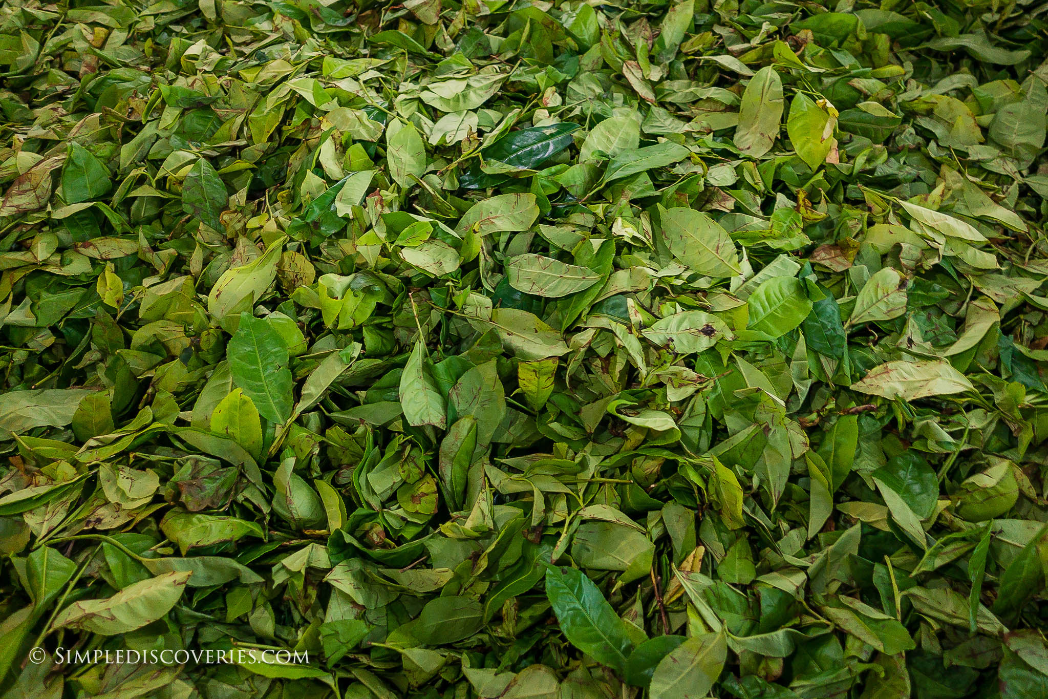 srilanka_tea_leaves