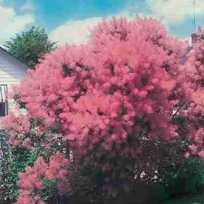 Pink smoke bush