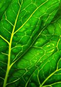 veins running through healthy leaf