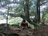 Norfolk Island - Cow