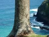 Norfolk Island - Pine