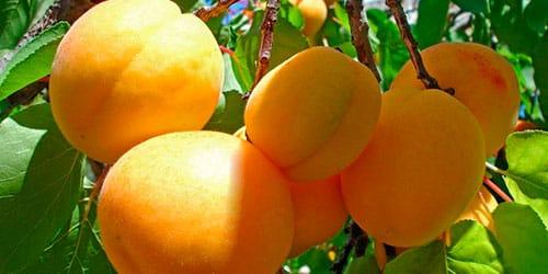 Видеть во сне абрикосы