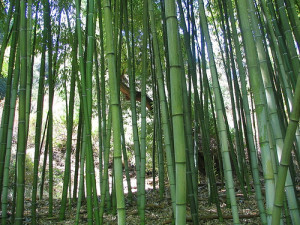 Some green bamboo.