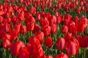 Сон тюльпаны красные