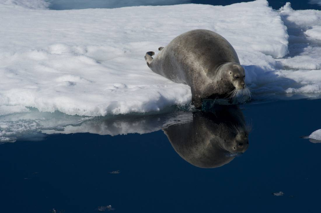 Bearded seal pictures