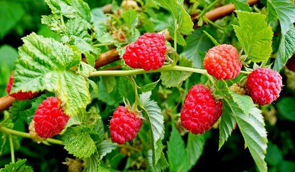 К чему сниться ягода малина