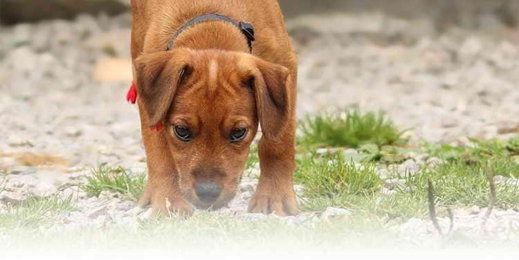 Почему собаки едят свои фекалии