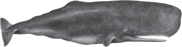 Синий кит есть зубы