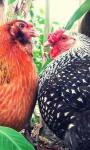 Urban Chicken Farming