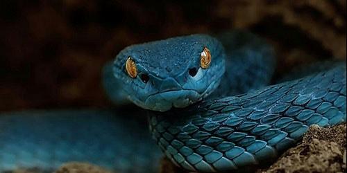 К чему снится голубая змея