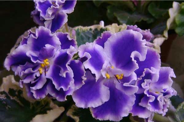 Крупные цветы фиалка сорта Летние сумерки