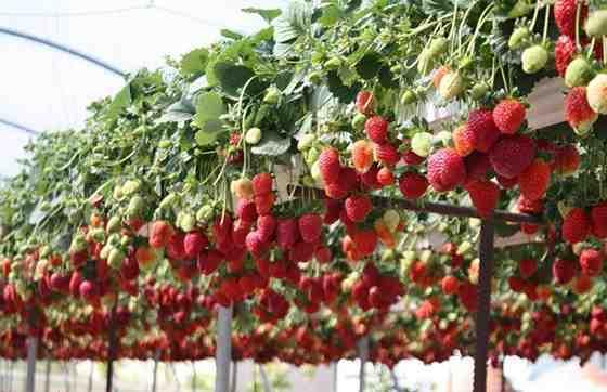 Выращивание клубники для продажи