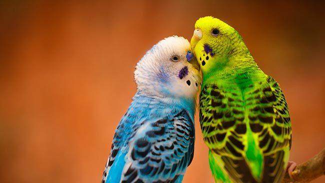 Самец и самка волнистого попугая