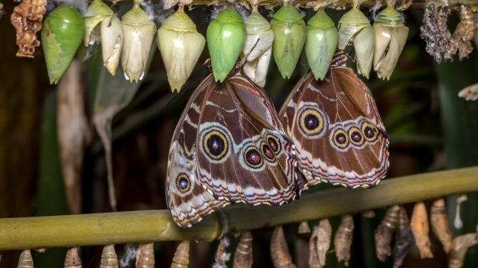 Как вырастить дома бабочку