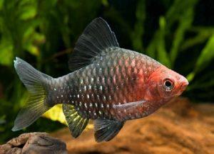Барбус фото аквариумная рыбка