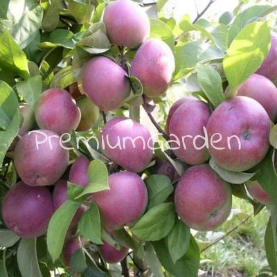 Яблоня фармел