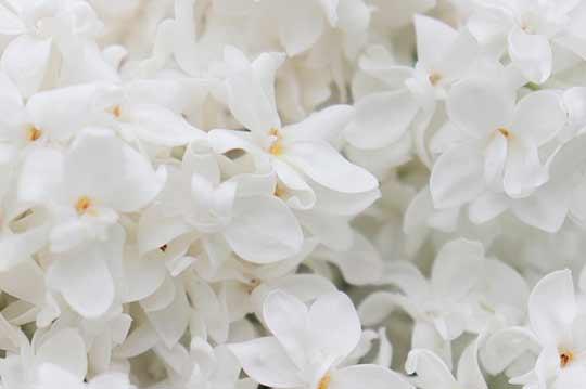 цвет сирени во сне