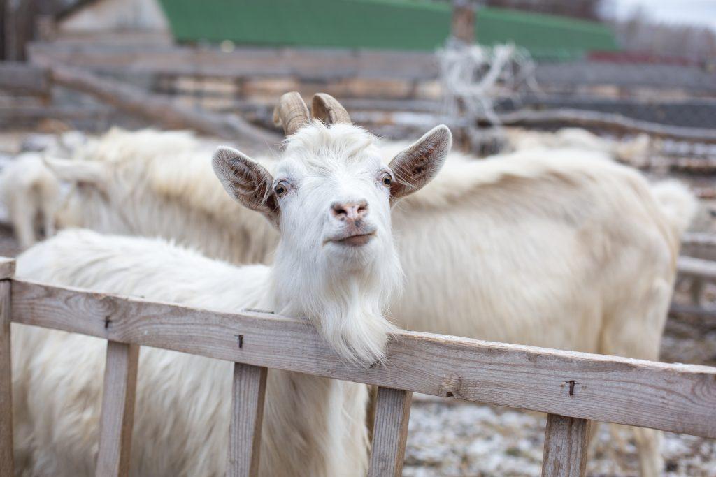 Бизнес на козах форум