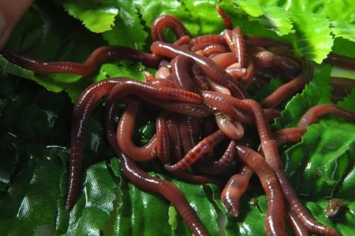 Ферма червей в домашних условиях