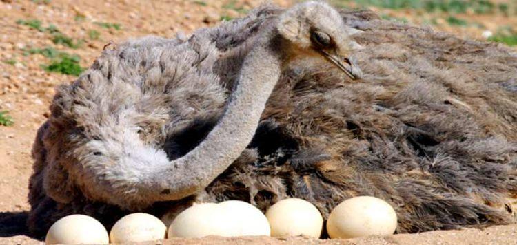 Сколько стоит страусы