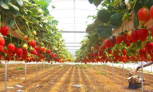 Бизнес на выращивание клубники
