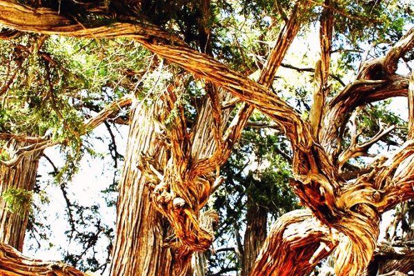 Bin Yıllık Anıt Ardıç Ağacı - Bardas, Güneysınır, Konya