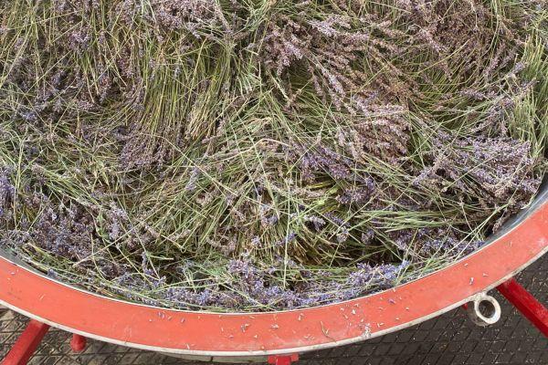 Güneysınır'da lavanta yağı çıkarılmaya başlanıldı