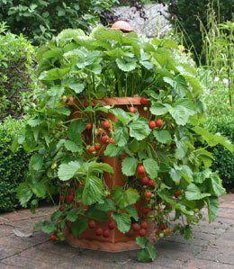 Выращивание клубники на дому