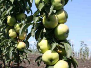 Яблоня колоновидная москвичка